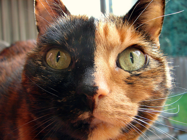 cat with half black and half brown face