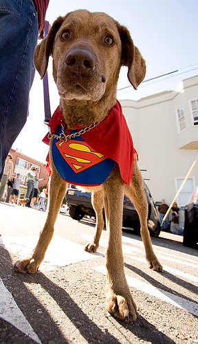 dog is superman costume