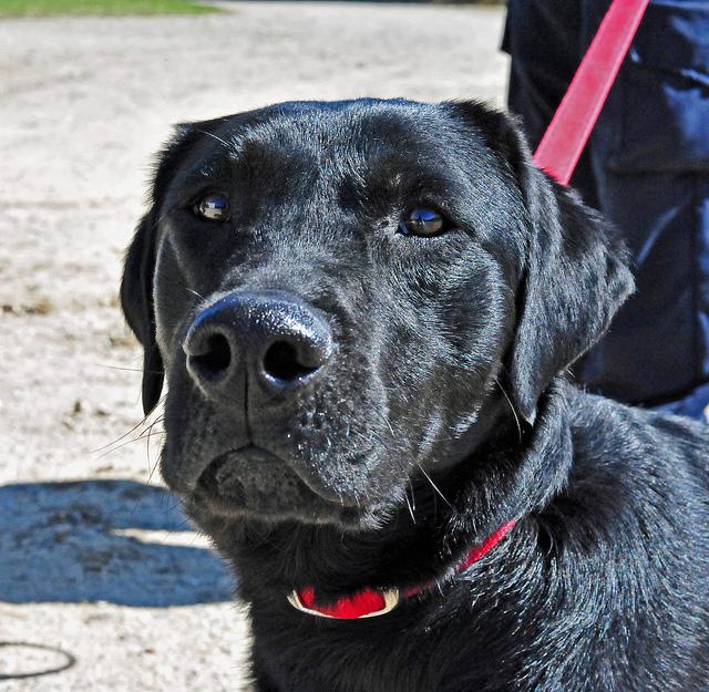 black lab service dog