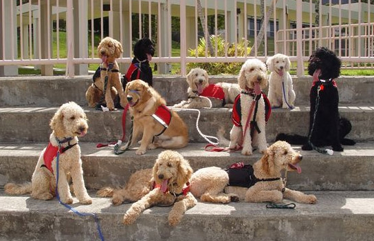 service dogs in training, sitting on steps